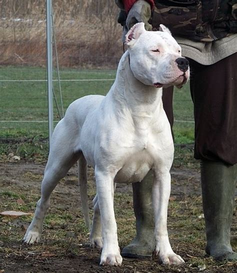dogo argentino info temperament life span puppies pictures