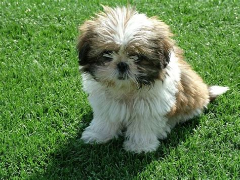shih tzus are a small dog breed that don t shed that much