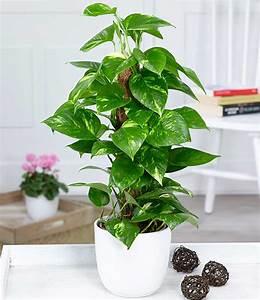 Büro Pflanzen Pflegeleicht : efeutute am moosstab 1a zimmerpflanzen online kaufen baldur garten ~ Michelbontemps.com Haus und Dekorationen