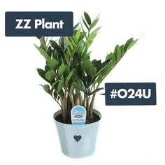 Plants For Windowless Bathroom by Lithodora Are Evergreen Shrubs Or Sub Shrubs With 5 Lobed