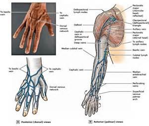 Superficial Hand Veins