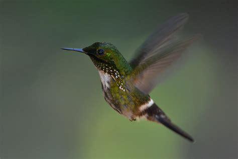 hummingbirds of brazil markwalkernaturephotography