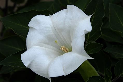 moon plant flower photos moon flower