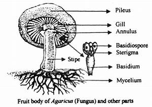 Describe On Agaricus