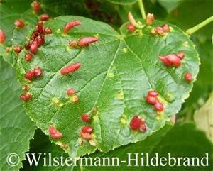 Wucherungen An Pflanzen : sch dlinge an pflanzen ~ Buech-reservation.com Haus und Dekorationen