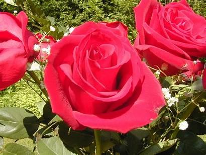 Rose Flower Flowers Roses Flowerinfo Pink Garden