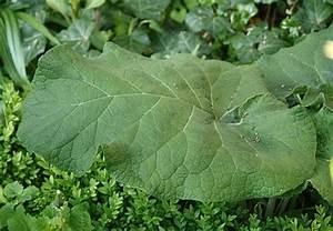 Pflanze Mit Großen Blättern : was ist das f r ein pflanze gro e klette ~ Michelbontemps.com Haus und Dekorationen