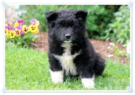12 Best Samoyed Puppies Images On Pinterest Samoyed