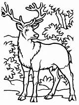Coloring Deer Pages Hunting Elk Printable Bull Animal Hunter Drawings Sheets Forest Animals Template Popular Clip Embroidery Machine Shark Sketch sketch template