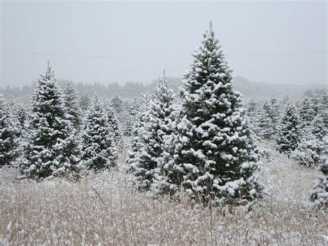 28 best minnesota christmas tree farms ideas about