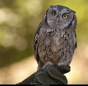 Western Screech Owl Baby