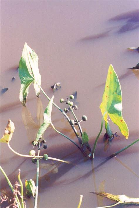 plant katniss katniss arrowhead plant
