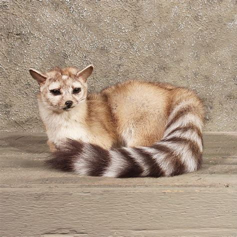 ring tailed cat facts history  information