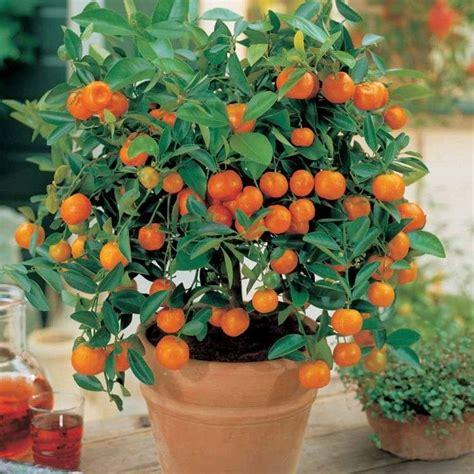 pot pour arbre fruitier les 25 meilleures id 233 es de la cat 233 gorie arbres fruitiers nains sur jardin fruitier