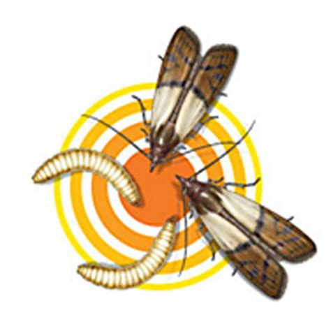 Cycle Of A Pantry Moth Pantry Moth Cycle Reproduction Terro 174 Learning Center