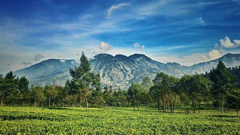 deretan kebun teh  indonesia  indahnya kayak
