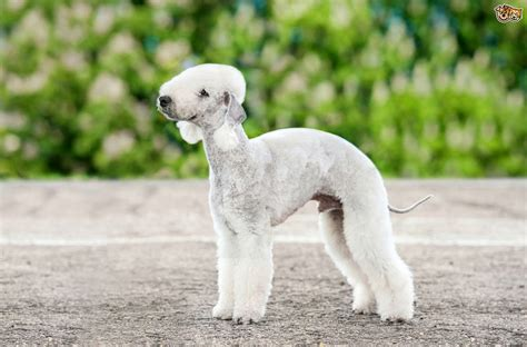 Non Shed Dogs Large by Bedlington Terrier Dog Breed Information Buying Advice