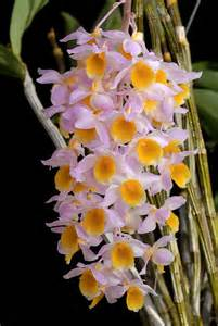 plumeria flowers dendrobium mousmee photo bryan ramsay photos at pbase