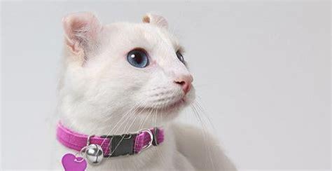 meet  white cat breeds petfinder