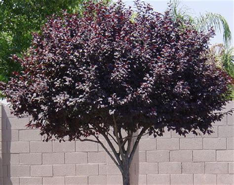 fruitless plum tree purple leaf plum