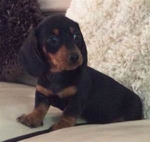 Miniature smooth haired dachshund puppy for sale ...