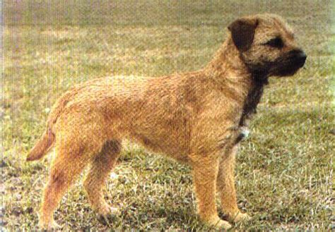Smooth Border Terrier