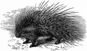 Old Porcupine with Long Quills Engraving! - The Graphics Fairy