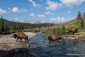Bison Once Again Roam Free In Canadas Banff National Park