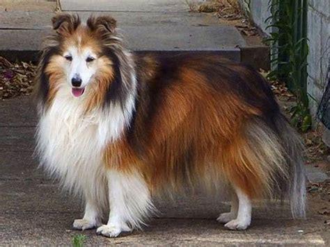 smartest breeds 10 smartest dog breeds ritemail