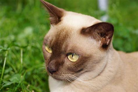 burmese cat cat breeds encyclopedia