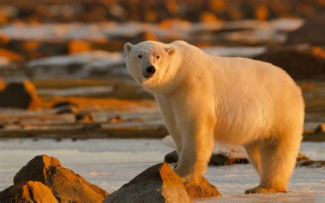 large polar bear  arctic hd wallpaper widescreen