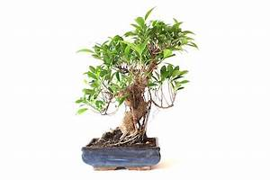 Ficus Bonsai Schneiden : cura dei bonsai di ficus bonsai ficus ginseng retusa bonsai empire ~ Indierocktalk.com Haus und Dekorationen