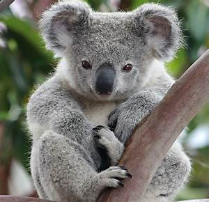 397 best images about Koala on Pinterest | Koala bears ...