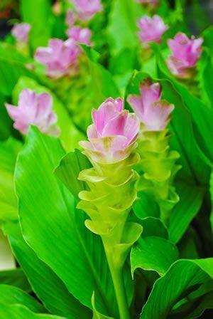 curcuma pflanze pflege safranwurz gelbwurz curcuma alismatifolia pflege anleitung garten kurkuma und ingwer