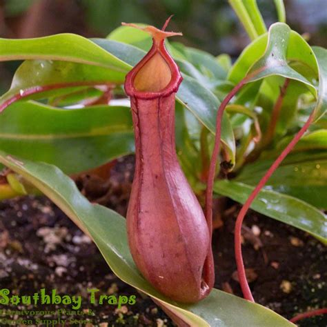 pitcher plant nepenthes ventrata x alata red tropical pitcher plant for sale