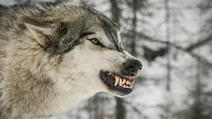 angry wolf wallpaper Group with 59 items