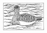 Coloring Albatross Adult Arctic Animal Template sketch template
