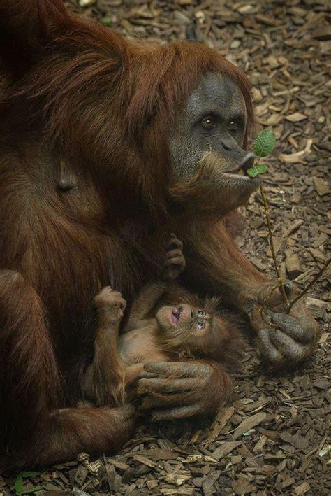 orangutans images  pinterest monkeys