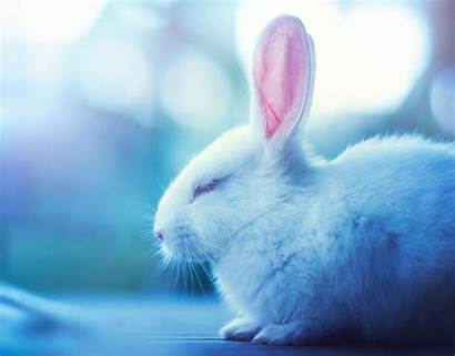 Rabbit Animal Background Wallpapers