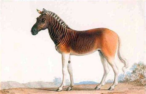 horses zebras zebra horse facts storgaard morten