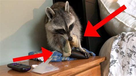 raccoon stole  money youtube