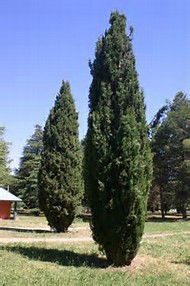 Best 25+ ideas about Cupressus Sempervirens | Find what you\'ll love