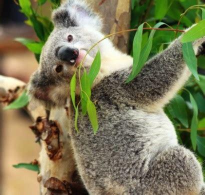 eukalyptus geliebt von koalas und gesund fuer menschen