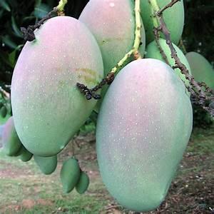 mango, yummy! | See 'mango, yummy!' On Black! Mango trees ...