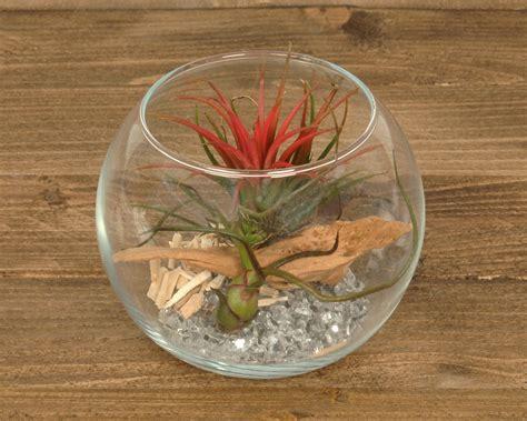 tillandsien im glas tillandsien im glas sphere medium corsa webshop luchtplantjes en tillandsia