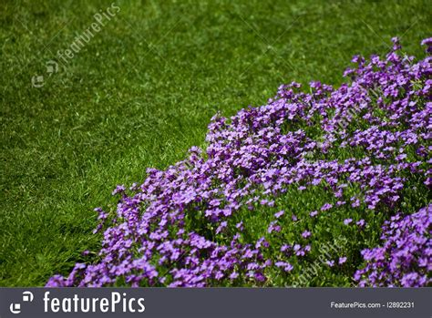 purple lawn photo of purple flower and lawn