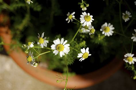 grow chamomile indoors tips  growing chamomile
