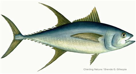 grayish blue yellowfin tuna