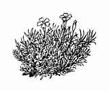 Silene Moss Coloring Randy Acaulis Plant Template Flower Campion Wild Copyright Sketch sketch template