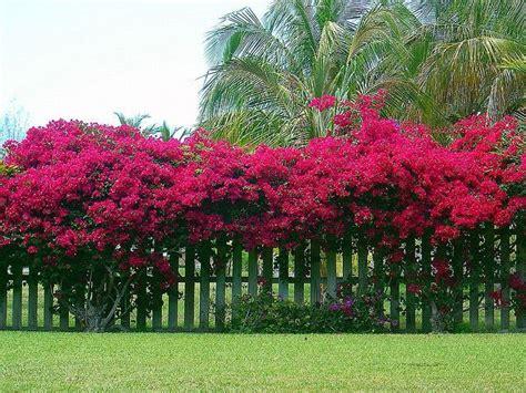 bougainvillea  fence google search gardening